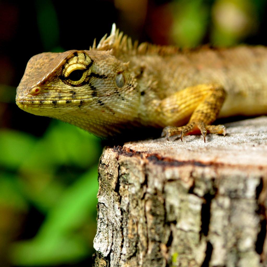 Iguana 兇神惡煞的鬣蜥 ...