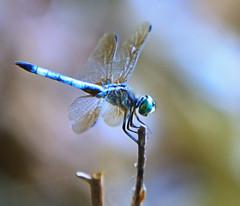 Dragonfly (BruceLorenz) Tags: blue green reeds wings dragonfly longisland anisoptera bluedragonfly peconicriverherbfarm brucelorenz