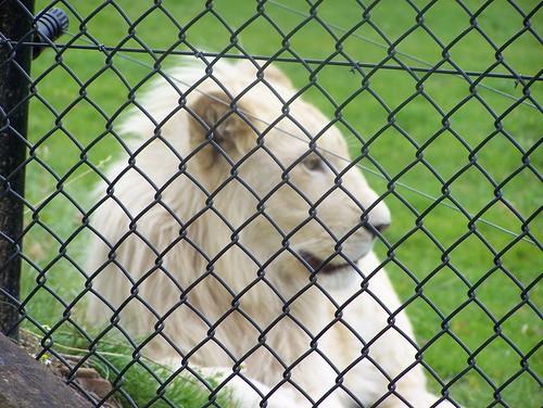 """witte"" leeuwen"