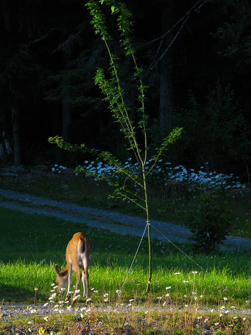 deer eats, Kasaan, Alaska