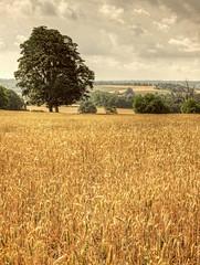 Golden crops (ClaireLau) Tags: england field kent unitedkingdom britain wheat book1 goldenfield wheatfield southeastengland cropfield walk15 swcwalks youngwheat goldencrops