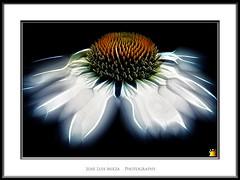 Andrmeda (Jose Luis Mieza Photography) Tags: flowers flores flower fleur fleurs flor benquerencia florews reinante jlmieza reinanteelpintordefuego joseluismieza