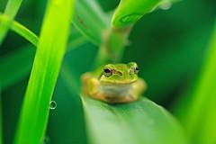 Tree frog (chibitomu) Tags: macro green nature canon leaf creative frog moment creativemoment chibitomu