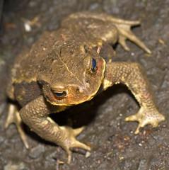 Common Toad At Night In Shakuji Koen, Bufo japonicus (aeschylus18917) Tags: park macro nature japan ni