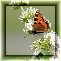 Sommer 2010 (RiesenFotos) Tags: summer butterfly sommer 2010 schmetterling quadrat riesenfotos