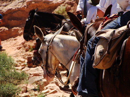 Mule Train on the Bright Angel Trail
