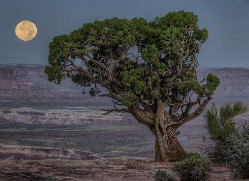 フリー写真素材, 自然・風景, 樹木, 月, キャニオンランズ国立公園, アメリカ合衆国, ユタ州,