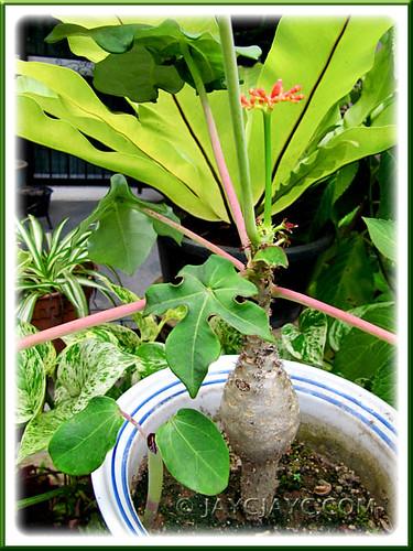 Jatropha podagrica with a self-sown seedling!