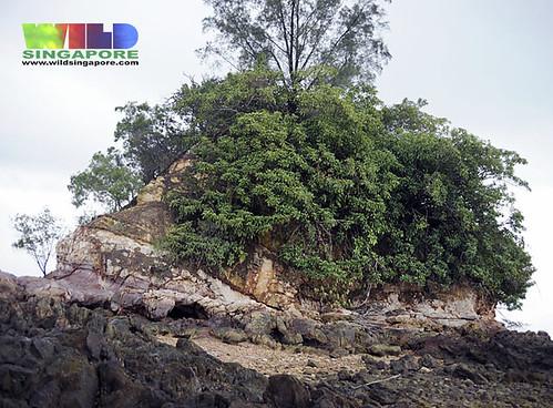 Pelir musang (Fagraea auriculata)