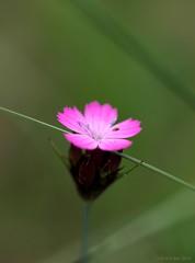 Pretty in Pink (Rick & Bart) Tags: pink flower berlin nature natuur botanique botanicalgarden roze bloem berlijn smrgsbord botanischergarten botanischetuin botg cmwdpink rickbart thebestofday gnneniyisi rickvink