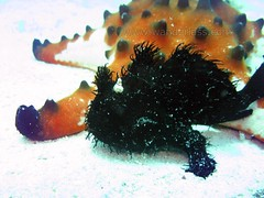 black hairy frogfish