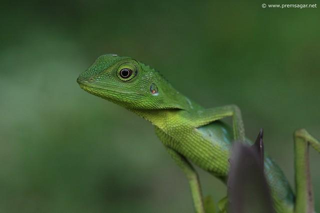 Lizard at Gunung Mulu