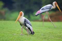 Stork Bird - تصوير عبدالعزيز جوهر حيات