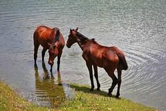 Thirst (www.senyphotography.com) Tags: horse india lake canon eos kerala ripples cochin f4 ernakulam munnar 24105l seny mattupetti 550d kundaladam