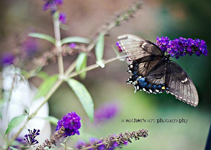 butterfly WM