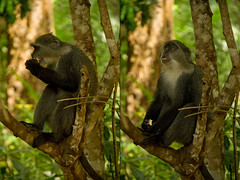 order: Primates. Eating Zanzibar Sykes' Monkey - Jozani Forest, Zanzibar, Tanzania