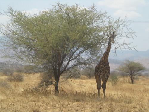 A Giraffe near Lake Manyara