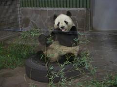 Kou Kou 2007.12.14 (TaoTaoPanda) Tags: panda koukou ojizoo