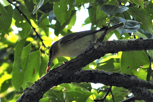 juv black-billed cuckoo