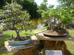Morikami (bunnygoth) Tags: trees tree gardens museum japanese florida bougainvillea bonsai morikami delraybeach