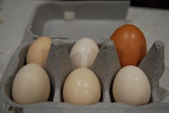One of these eggs is not the same (avlxyz) Tags: egg bantam  bantamchicken  bantamegg