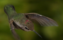 Hummer Action (William Jensen Photography) Tags: bird hummingbird avian strobe californianative annashummingbird birdinflight calypteanna hummingbirdinflight canon300mmf4lis canon40d slbflying