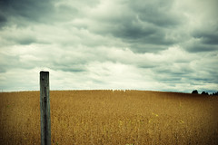 FIELD of BEANS (jumpinjimmyjava) Tags: storm art weather landscape beans farmers farm crop dreams jlbrown jumpinjimmyjava photophotograph