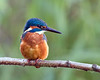 Kingy (Andrew H Wildlife Images) Tags: bird nature wildlife kingfisher coventry warwickshire brandonmarsh canon7d ajh2008