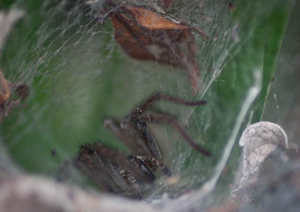 Macro de una araña utilizando la forma cónica de una planta de Aloe para tejer su telaraña y esperar por los insectos que saliendo a buscar polen caen atrapados en la telaraña. (Elton Núñez - Paraguari, Paraguay)