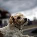 1 of 4 / Lymington Dog