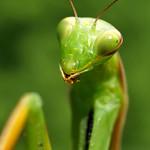 Praying mantis / Mante religieuse thumbnail