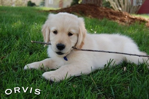 Orvis Cover Dog Contest - Jack