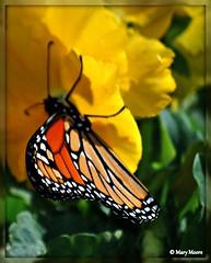 Monarch ( Mary Moore) Tags: mywinners bestofmywinners eonsstrictlymacro ringexcellence dblringexcellence tplringexcellence