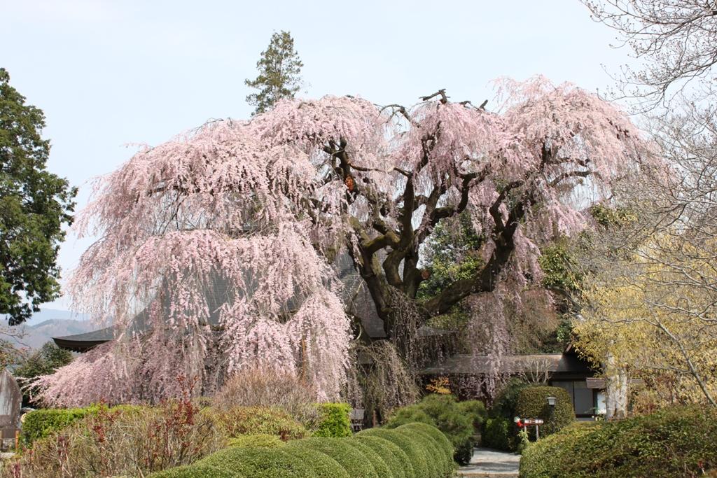 Sakura tour in Yamanashi (2)