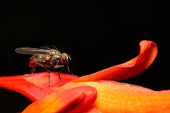 Fly on Flower (Pockets1) Tags: ireland orange flower macro canon bug insect interestingness wings eyes colours patterns cork small sigma explore tiny 2010 150mm top500 explored 40d