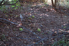 "Osage Oranges on the Ground <a style=""margin-left:10px; font-size:0.8em;"" href=""http://www.flickr.com/photos/91915217@N00/4997182807/"" target=""_blank"">@flickr</a>"