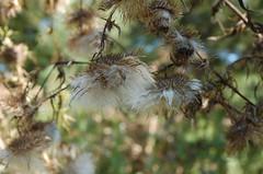 "Burdock Seeds? <a style=""margin-left:10px; font-size:0.8em;"" href=""http://www.flickr.com/photos/91915217@N00/4997185379/"" target=""_blank"">@flickr</a>"