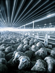 The Saleyard (Chloe van Grieken) Tags: light architecture cattle sheep shed grayscale livestock flickraward flickraward5