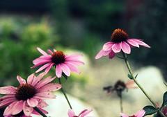 257/365 - Pink Echinacea (jen ♫) Tags: pink flowers echinacea