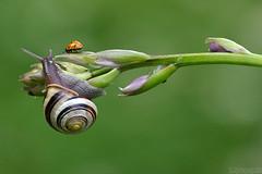 Backyard Beauties (Vie Lipowski) Tags: flower nature bug insect wildlife snail ladybird ladybug hosta ladybeetle giboshi detritivore