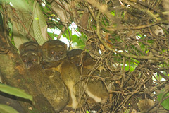 Eastern Woolly Lemur - Ranomafana National Park, Madagascar