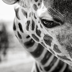Eyelashes (Shahriar Erfanian) Tags: portrait blackandwhite bw look animal square eyes eyelashes giraffe shahriarerfanian