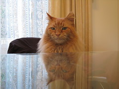 Reflective Neko 5 (drayy) Tags: orange cat ginger soft fluffy mainecoon neko ggg cc100 oreengeness thebiggestgroupwithonlycats