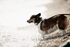 ripples (moaan) Tags: light summer dog beach coast corgi dof bokeh faded shore memory utata ripples welshcorgi  intothelight wavelets  pochiko ef300mmf28lisusm fadedsummer gettyimagesjapanq1 gettyimagesjapanq2