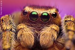 Adult Male Jumping Spider Evarcha falcata Salticidae (Serkiz Oleg) Tags: pictures portrait macro cute male art nature closeup hair lens prime spider jumping eyes nikon arms zoom arachnid tubes extension reversed fangs dslr softbox diffuser jumpingspider entomology arachnology arthropod macrophotography palps pedipalps d80 sigma150mmf28apomacro evarchafalcata serkizoleg