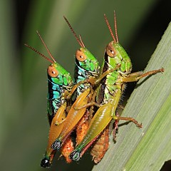Grasshopper's - 3some -  (gbohne) Tags: macro male nature strange female canon insect indonesia java flash insects grasshopper threesome topf100 insekt topf200 animalia arthropoda insekten weibchen insecta halimun mnnchen identified pterygota heuschrecken neoptera topshots sweetfreedom mywi