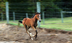 My Happy Thought, Rosalia (Katie Wincek) Tags: ranch horse brown black stockings socks race bay run blaze stable canter gallop paddock filly foal