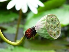 Fruiting lotus