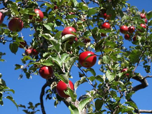 Apples10 022