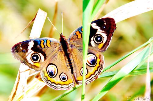Buckeye Butterfly - 9/52
